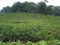 Udhagamandalam Tea Estae